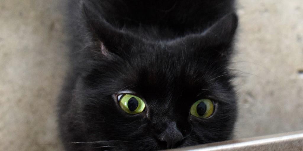 Shorty black cat