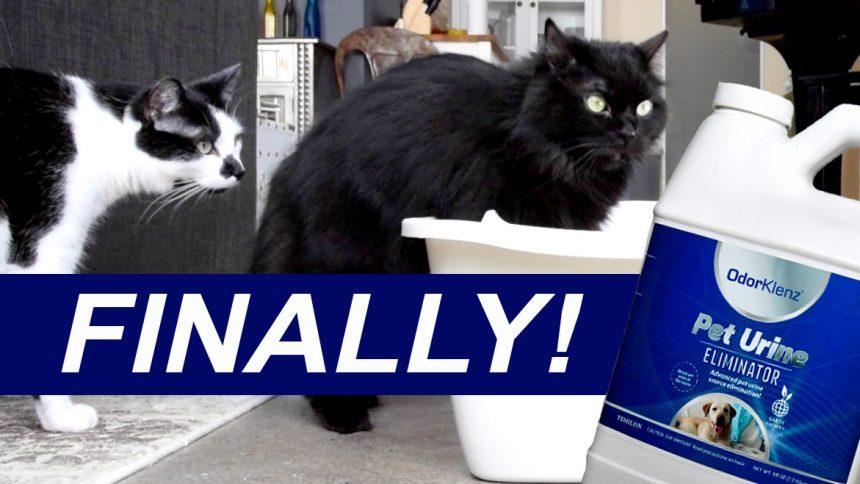 How To Get Cat Urine Off Carpet